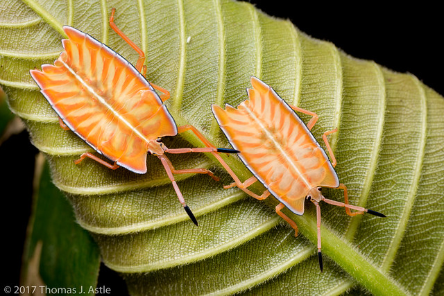 Orange Shield Bug sp. Juveniles