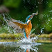 kingfisher diving by Alan Short UK