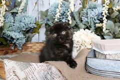 Tortie Kittens