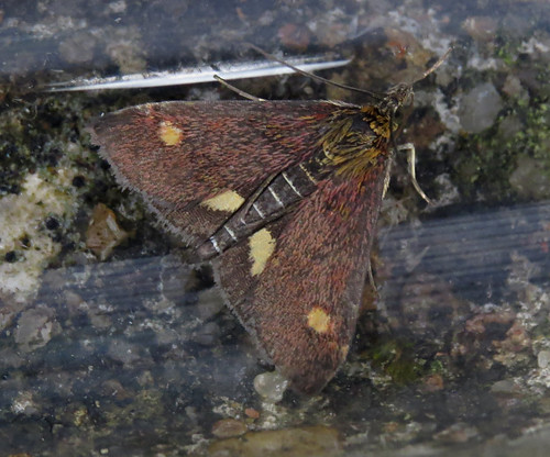 Pyrausta aurata Tophill Low NR, East Yorkshire August 2017