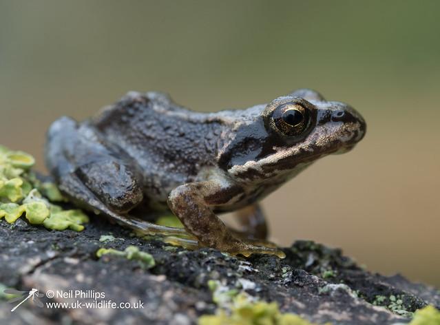 Common froglet-7