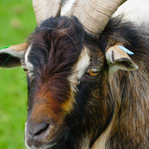 Arapawa goat, Mary Arden's Farm, portrait