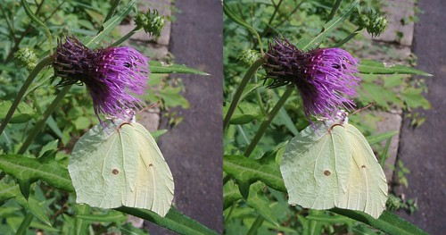 Gonepteryx aspasia, stereo parallel view