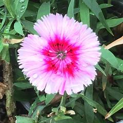 #flickr #flower Flor de la chinita!!!