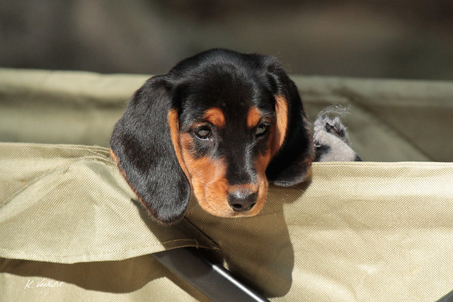 Teckel/Dachshund puppy