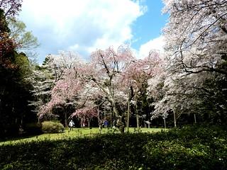 泉自然公園 18 枝垂れ桜
