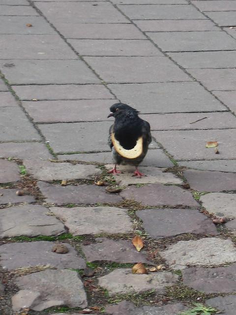 chic pigeon Krakow 2009