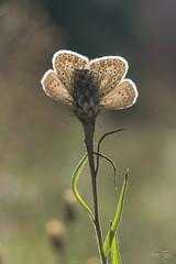 Papillon  Azuré 26-31aout 17-14