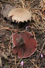 Melanophyllum haematospermum