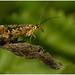Scorpianfly.
