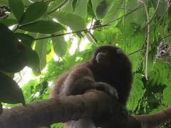 Amazonian Monkey