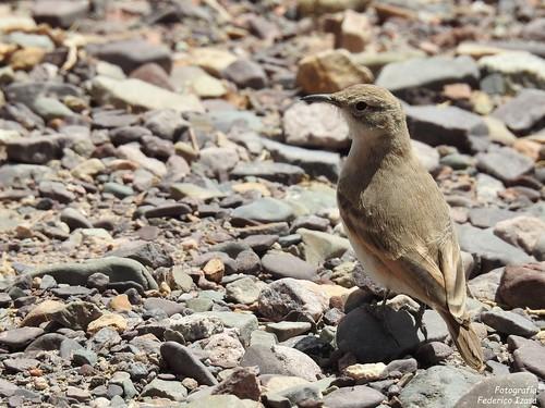 Caminera Puneña-Geositta punensis