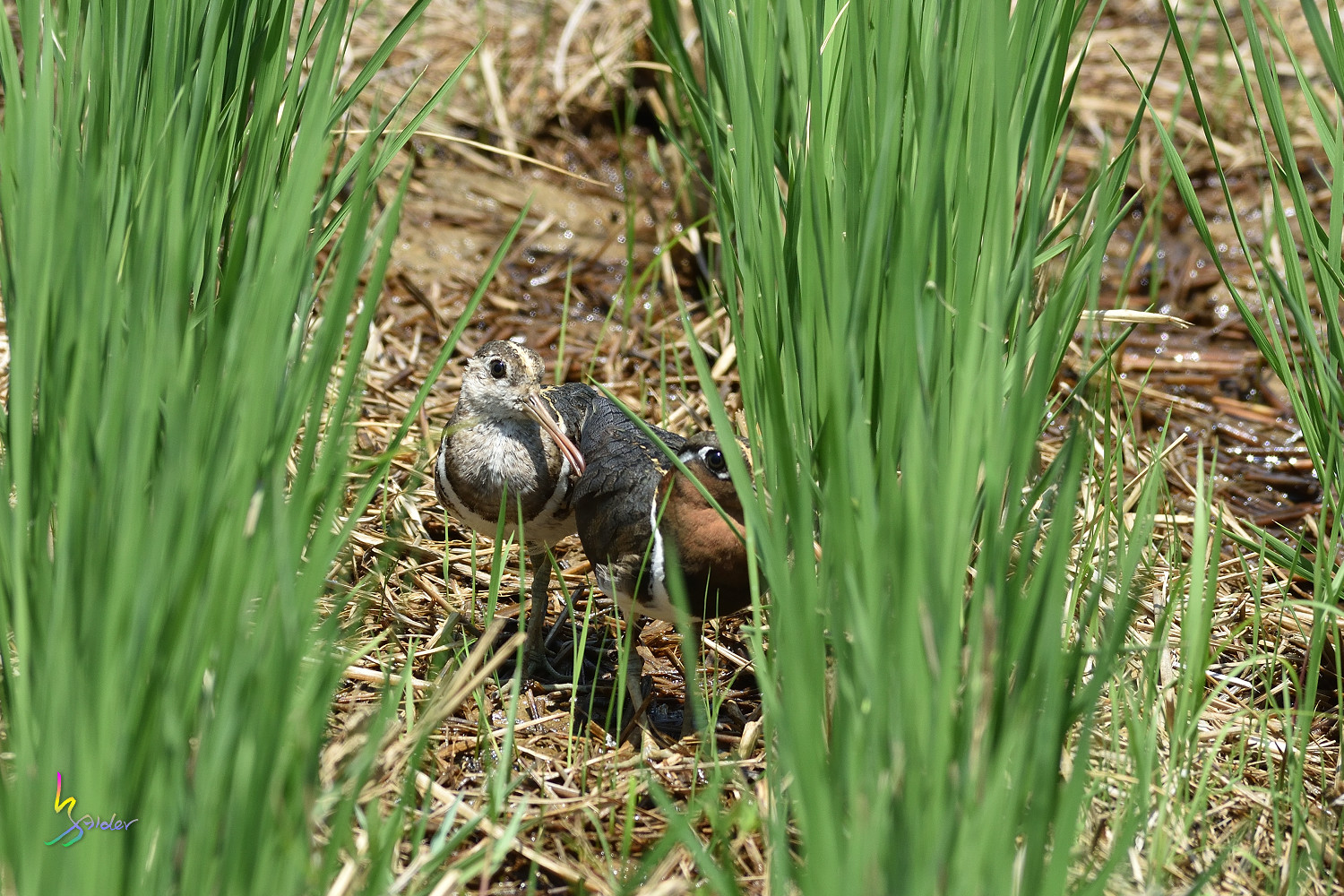 Painted_Snipe_1568