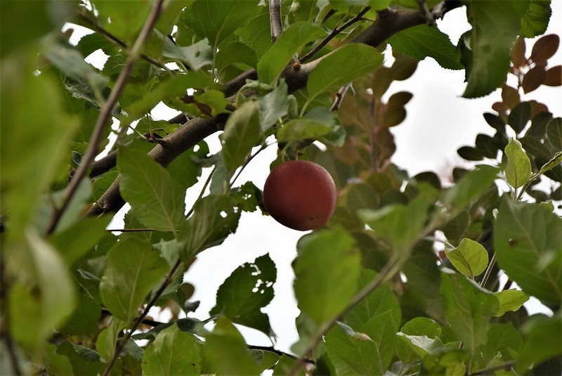 Apples 30.08 (2)