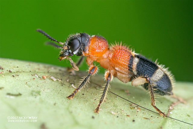 Velvet-ant-mimic checkered beetle (Tillicera sp.) - DSC_8534