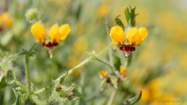 Flores amarillas Talinay