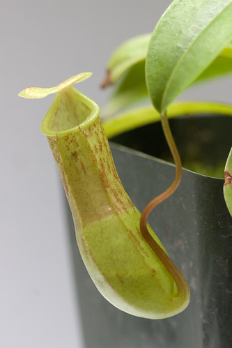 Nepenthes burkei BE tc