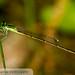 Furtive Forktail (Ischnura prognata) 20170331_7969.jpg