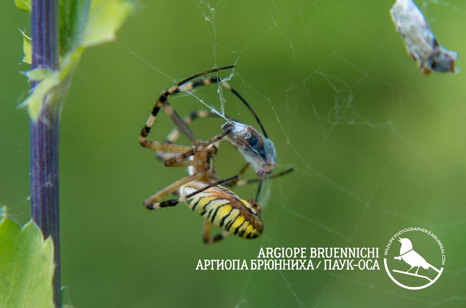 Argiope bruennichi // 20170821