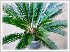 A young potted plant of Cycas revoluta (Japanese Sago Palm, King Sago, Sago Cycad, Sago Palm), 14 Aug 2017