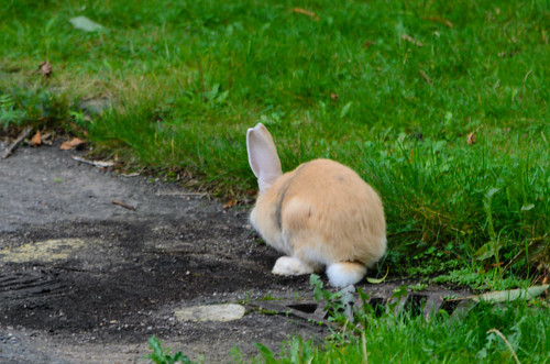 Run rabbit - pet rabbit on the loose, Northycote Farm