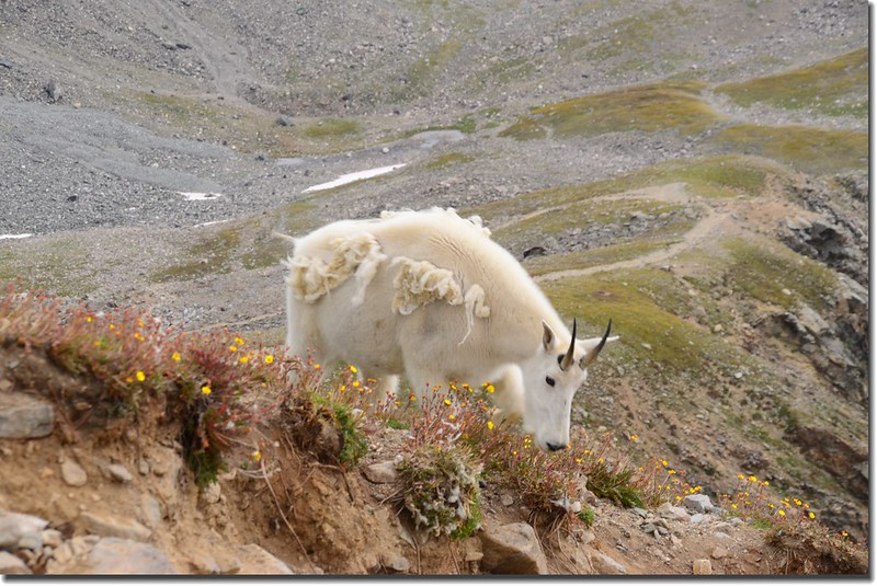 Mountain Goat (7)