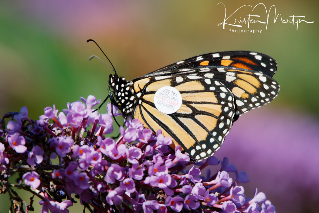 Monarch Butterfly (Danaus plexippus)- Tagged