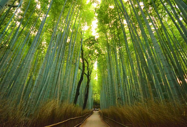 japan itinerary travel guide arashiyama bamboo forest kyoto