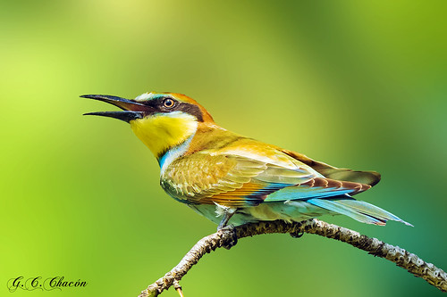 Abejaruco Europeo (Merops apiaster)