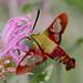 Hummingbird Sphinx Moth by tresed47
