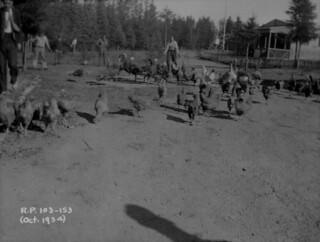 Relief Project No. 103, raising poultry, Duck Mountain, Manitoba / Projet de secours no 103, élevage de volaille, Duck Mountain (Manitoba)