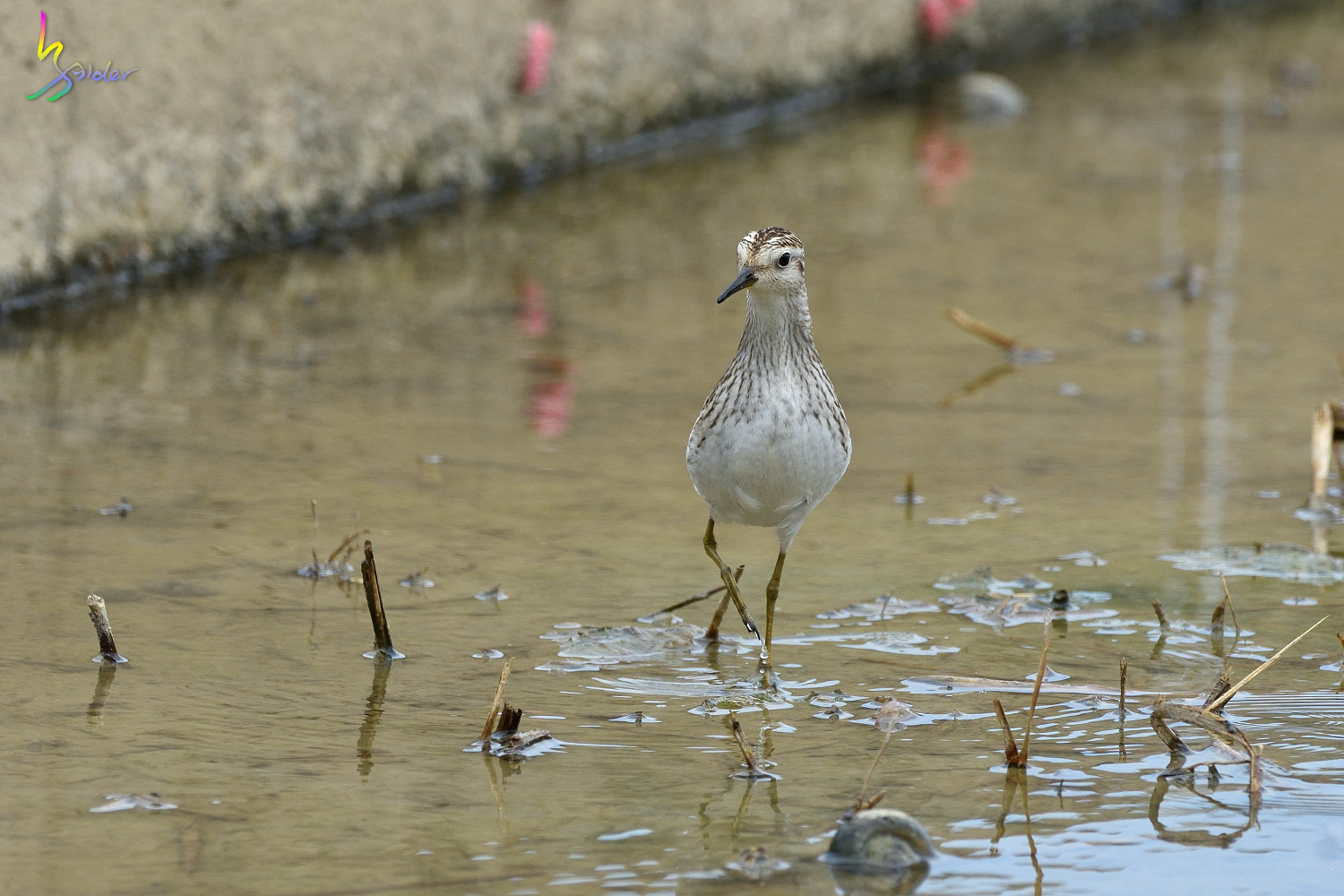 Long-toed_Stint_5140