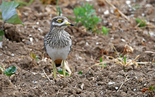 Stone Curlew (explored)