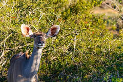 Female Kudu standing in front of the bushes