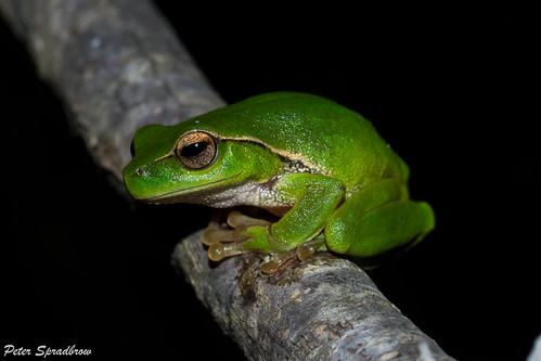 Green Stream Frog (Litoria phyllochroa) in Dharawal National Park