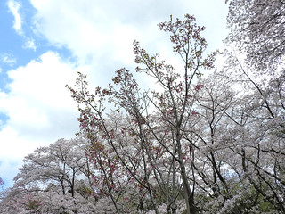 泉自然公園 49 陽光桜
