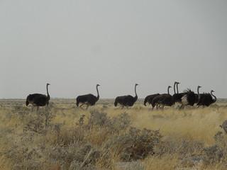 20170901 Etosha 0996 Ostrich