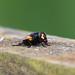 Mesembrina meridiana (Noon Fly)