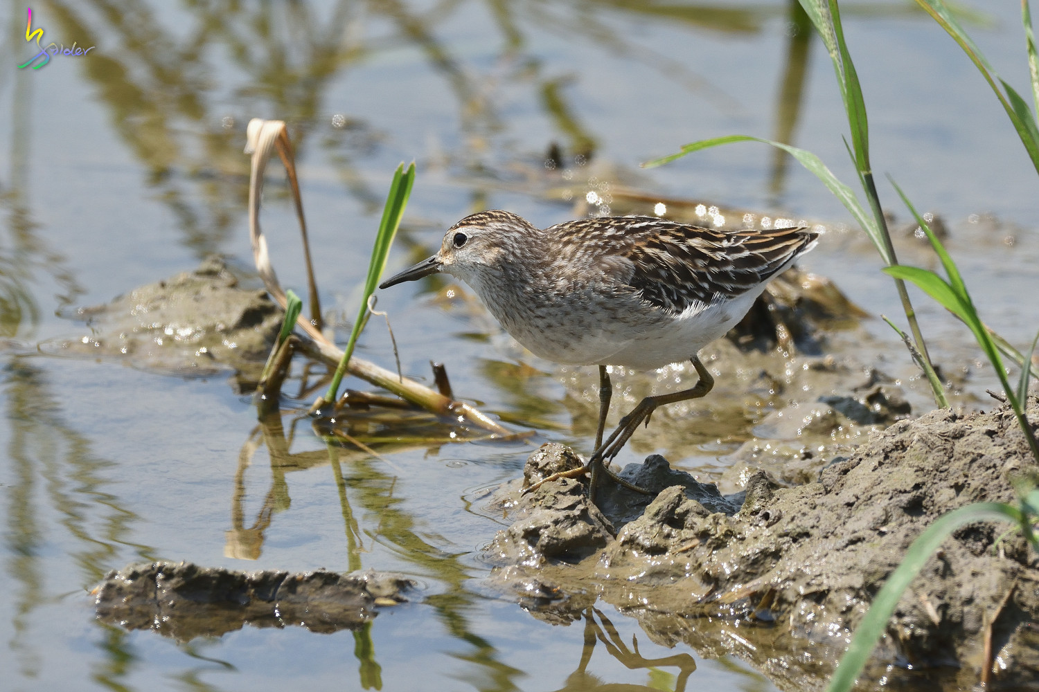 Long-toed_Stint_7449
