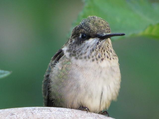 Hummingbird%20hovering%20at%20Zinnia%20Feeder_zpszzgqt9vb.jpg