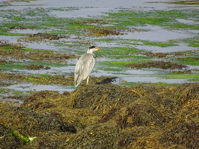 Heron at Low Tide