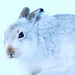 Mountain Hare by Chas Moonie-Wild Photography