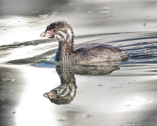 Pied-billed Grebe Chick, Canon EOS 5DS, Canon EF 500mm f/4L IS II USM + 1.4x