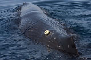 Gulf of California, Mexico Sperm Whale Cruise - April-June 2008