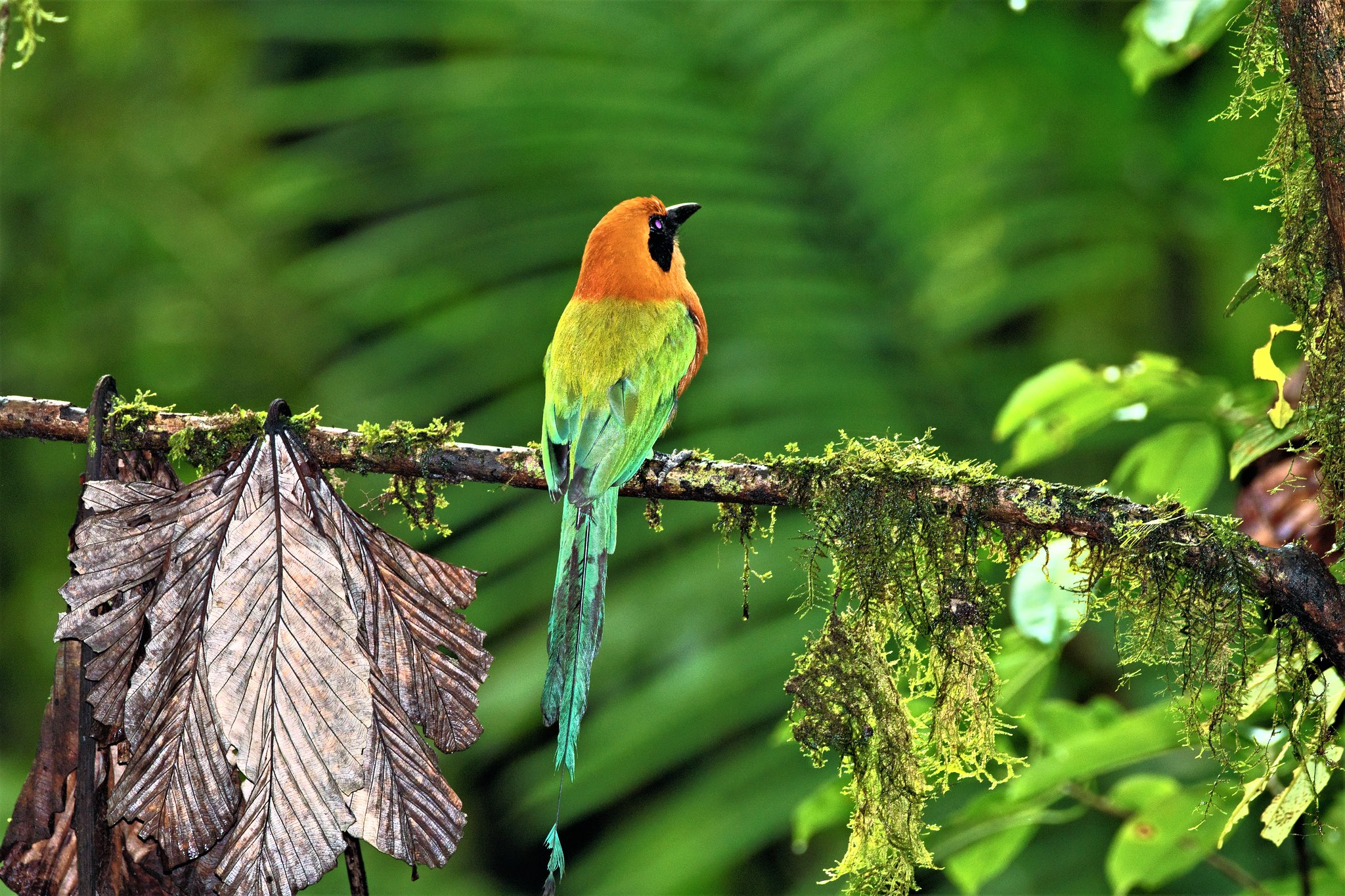 Rufous Motmot back view