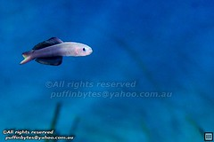 Two-toned Dartfish - Ptereleotris evides