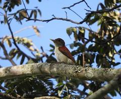 Scarlet-backed Woodpecker (Veniliornis callonotus)