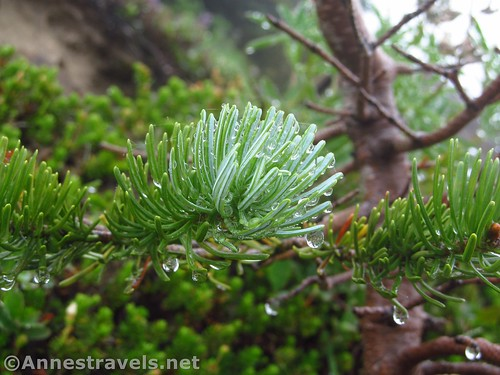 Dew-dripping pine branch along the McNeil Point Trail, Mount Hood National Forest, Oregon
