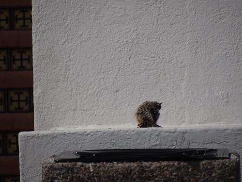 cactus wren sunning, Sonora