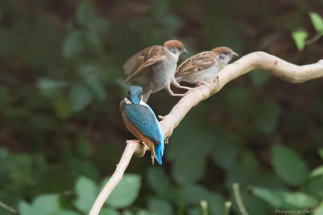 20170913-kingfisher-DSC_3519
